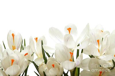 Deer Resistant Flowers Photograph - Crocus Flower by Boon Mee