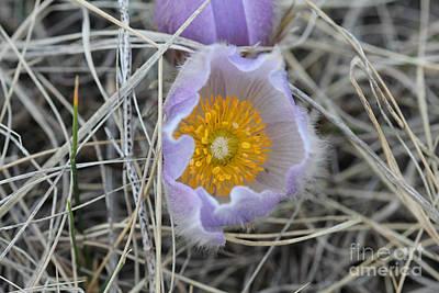 Photograph - Crocus Flower by Donna Munro