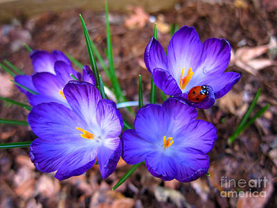 Crocus Flowers And Ladybug Art Print by Debra Thompson
