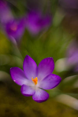 Impressionist Photograph - Crocus Focal Point by Mike Reid