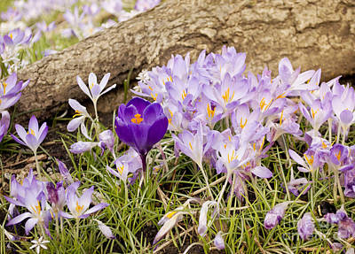 Photograph - Crocus Garden In Spring by Maria Janicki
