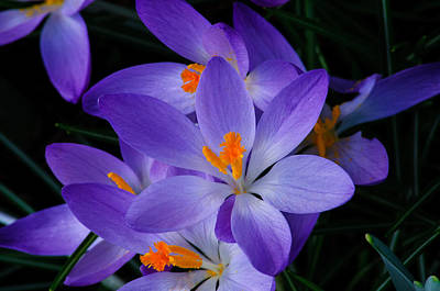 Photograph - Crocus In Spring 2013 by Tikvah's Hope