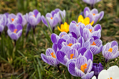 Photograph - Crocus In Springtime by Jill Lang