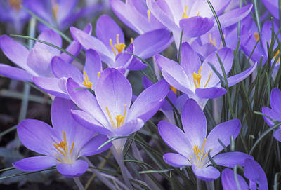Photograph - Crocus Joy by Jim Dollar