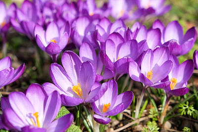 Photograph - Crocus by Mark Severn