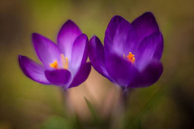 Crocus Flowers Photograph - Crocus Pair by Mike Reid