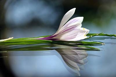 Photograph - Crocus Reflections by  Andrea Lazar