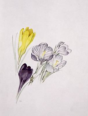 21st Painting - Crocus by Sarah Creswell