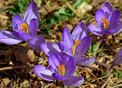 Photograph - Crocus Spring by John Brink