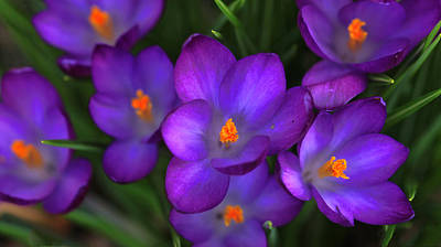 Photograph - Crocus Up Close And Personal by Shari Jardina
