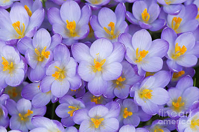 Blue Flowers Photograph - Crocus Vernus Queen Of The Blues  by Tim Gainey