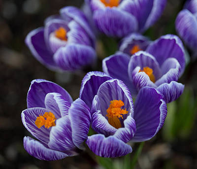 Spring Bulbs Photograph - Crocuses by Angie Vogel