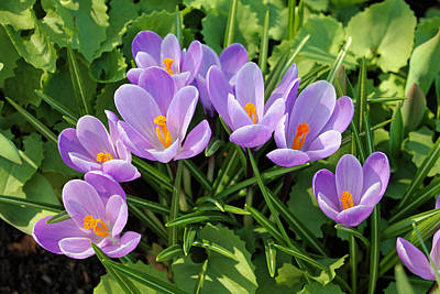 Photograph - Crocuses by Gerry Bates