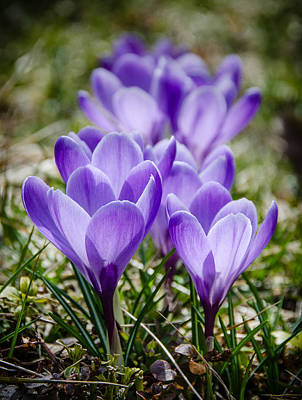 Photograph - Crocuses by Jennifer Kano