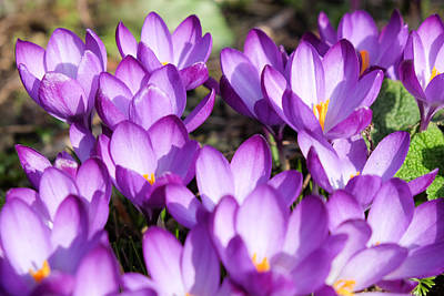 Photograph - Crocuses by Mark Severn