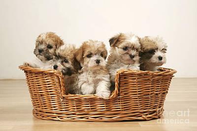 Cross Breed Puppies, Five In Basket Art Print
