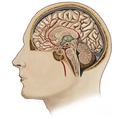 Neuroscience Digital Art - Cross Section Of Brain With Arteries by Stocktrek Images