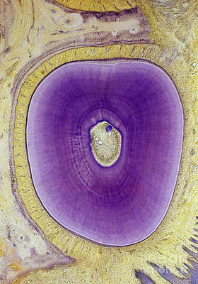 Photograph - Cross-section Of Cat Tooth Root Lm by De Agostini Picture Library