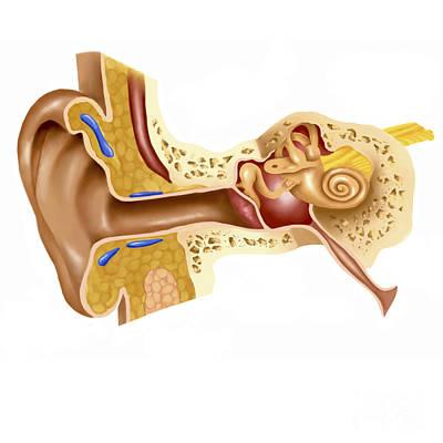 Cross Section Of Human Ear Art Print by Stocktrek Images