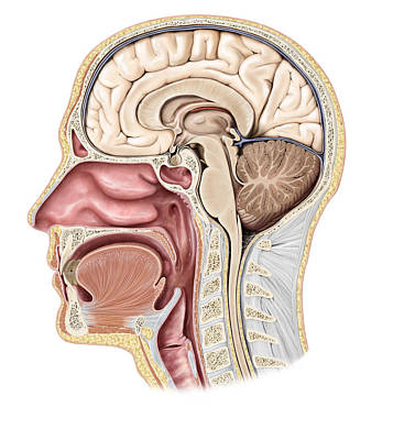 Photograph - Cross Section Of The Head, Illustration by QA International