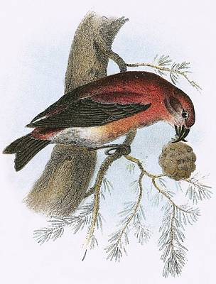 Red Crossbill Painting - Crossbill by English School