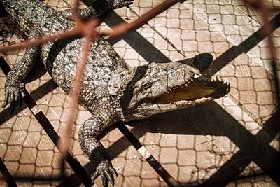 Crossbred Crocodile Art Print