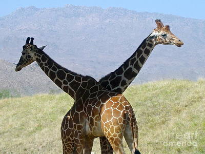 Photograph - Crossed Giraffes by Phyllis Kaltenbach