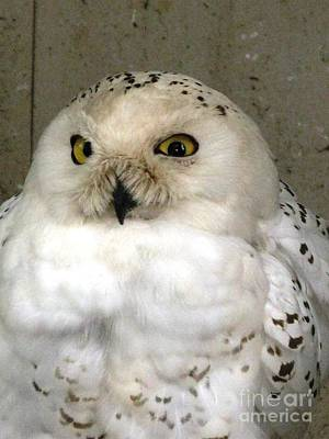 Photograph - Crosseyed Snowy Owl by Ausra Huntington nee Paulauskaite