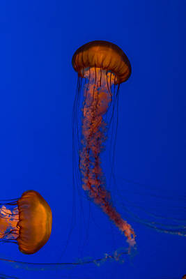 Blue Photograph - Crossing Pacific Sea Nettles 1 by Scott Campbell