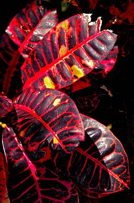 Photograph - Croton Leaves In Black And Red by Michele Myers