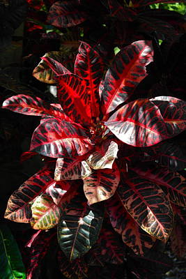 Photograph - Croton Plant In Black And Red by Michele Myers