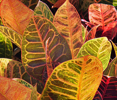 Photograph - Croton Plant Leaves by Duane McCullough