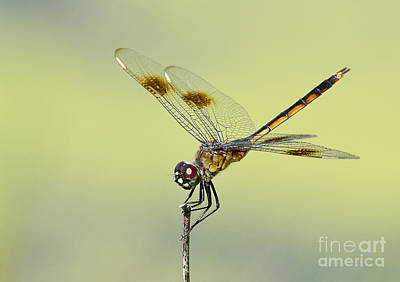 Photograph - Crouching Dragonfly by Kathy Baccari