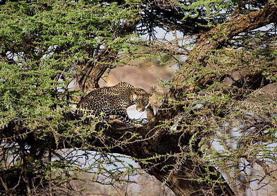 Photograph - Crouching Leopard by June Jacobsen