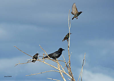 D700 Photograph - Crow And Starlings by Stephen  Johnson