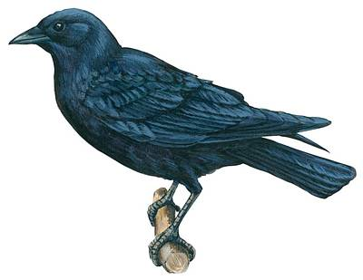 Horizontal Drawing - Crow by Anonymous