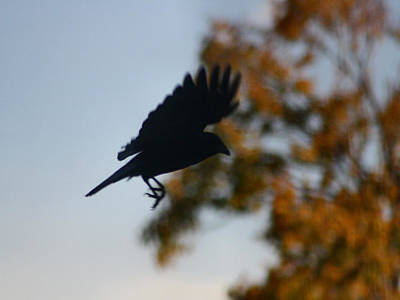 American Crow Photograph - Crow In Flight 1 by Gothicrow Images