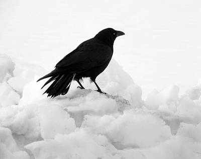 Snow Banks Photograph - Crow In Winter by Gothicrow Images