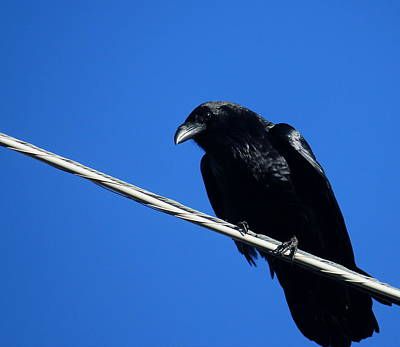Photograph - Crow by Trent Mallett