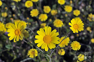 Print featuring the photograph Crown Daisies by George Atsametakis