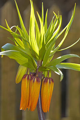 Photograph - Crown Imperial Fritillaria Imperialis Flower by Matthias Hauser