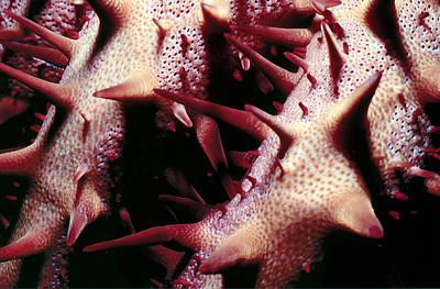 Photograph - Crown Of Thorns 2 by Dawn Eshelman