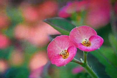Spurge Photograph - Crown Of Thorns - Flower by Nikolyn McDonald