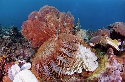 Crown Of Thorns Starfish Eating Corals Art Print