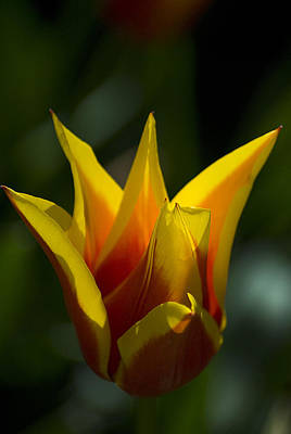 Photograph - Crown Tulip by Yulia Kazansky