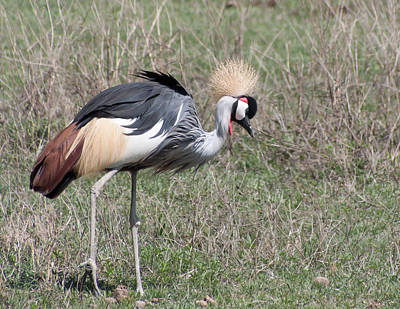 Crowned Crane Art Print by Jim Heath