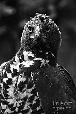 Eagle Photograph - Crowned Eagle-black And White by Douglas Barnard