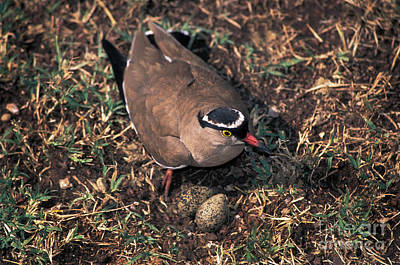 Lapwing Wall Art - Photograph - Crowned-lapwing Tending Nest by Ron Sanford