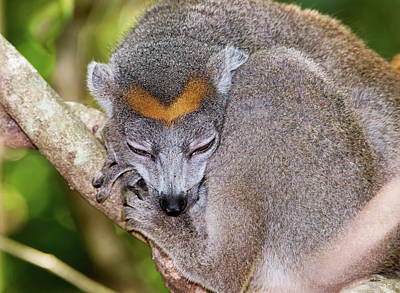 Lemur Photograph - Crowned Lemur Female by Dr P. Marazzi