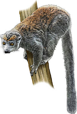 Photograph - Crowned Lemur, Illustration by Roger Hall